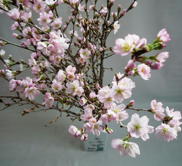 花を咲かせた啓翁桜